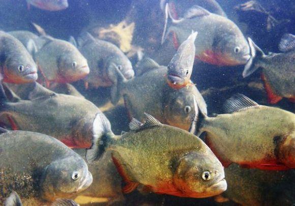 red-bellied-piranhas-bark_41746_600x450